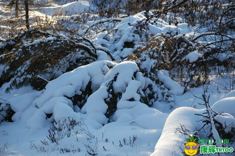 内蒙古景观松-冬季呼伦贝尔风景趴地松景点图片,冬季呼伦贝尔风景趴地松景区图片